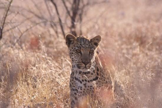 Leopard in Etosha National Park