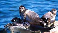 Baikal seals - Nerpa