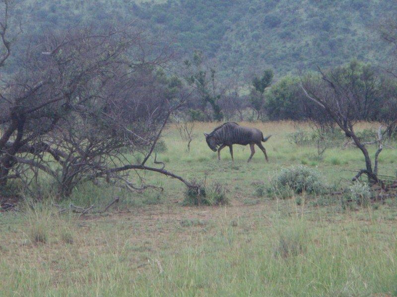 Wildebeest in Pilanesburg Park near SunCity