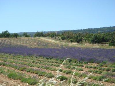 Lavendelfeld__3_.jpg