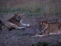 Lionesses.jpg