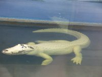 White_gator.jpg