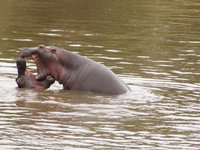 hippos_2_.jpg