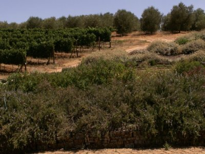 Wine Grapes and Olive Trees