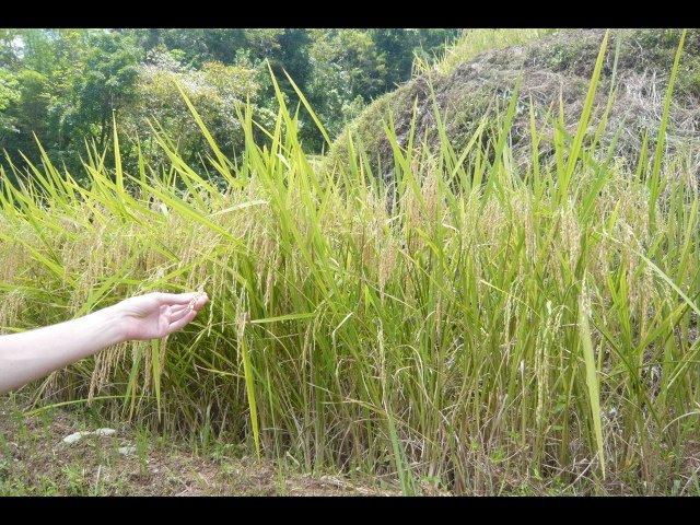 Adam touching the Rice