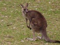 Wild kangaroo