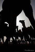 camel market Khartoum