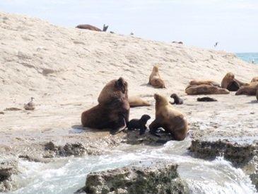 Sea lions at peninsula Valdes