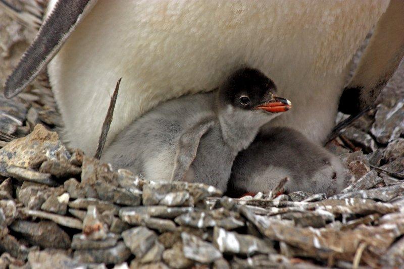 Gentoo Penguin Chick
