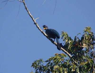 The Great Blue Turaco