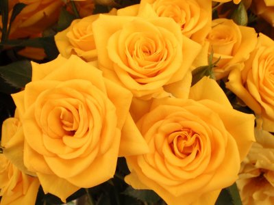 Yellow roses - friendship