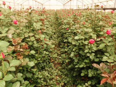 Hundreds of healthy roses!!