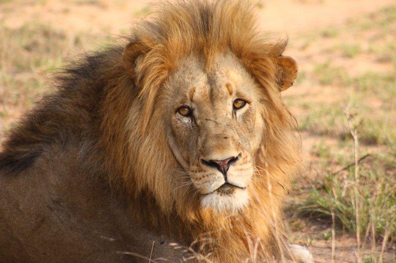 Phinda Lion