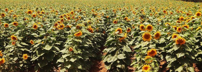 Israeli sunflowers