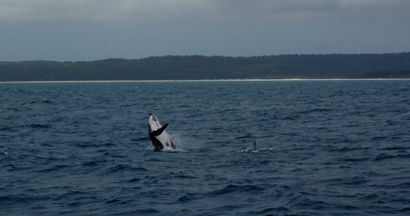 Jumping baby humpback whale