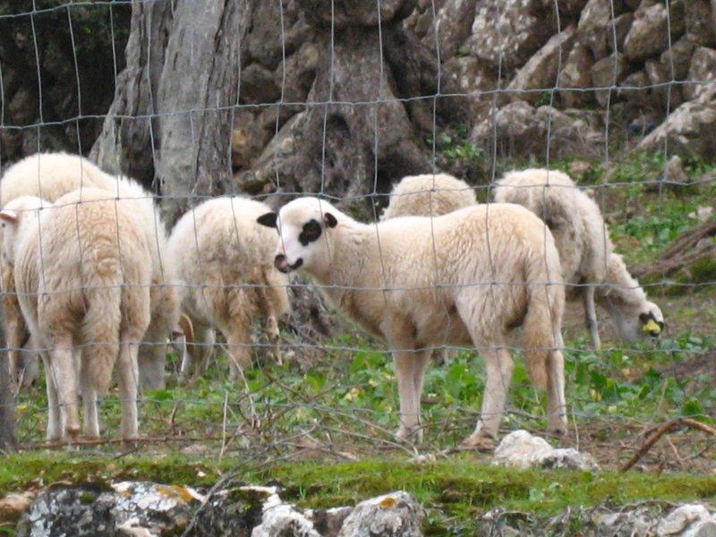 Spanish Sheep