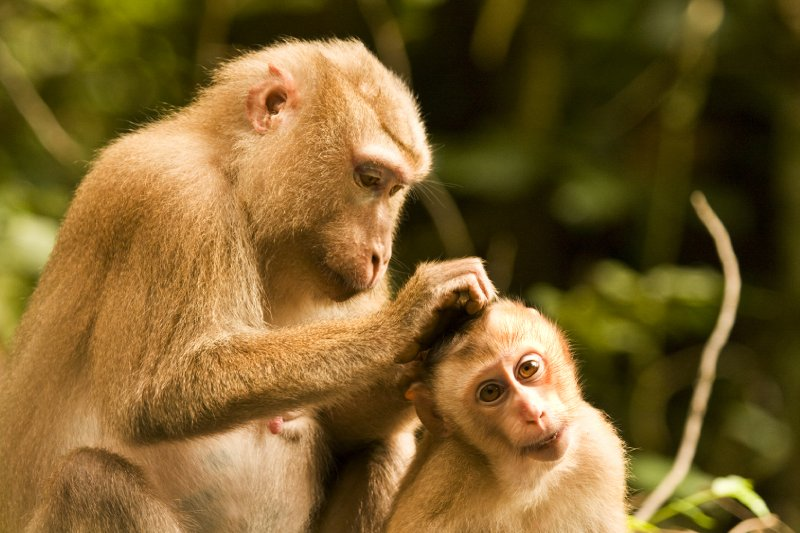 Pig tailed macaques grooming