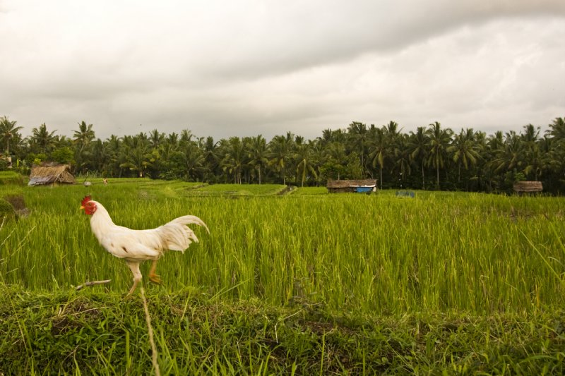 Rice paddy with chicken
