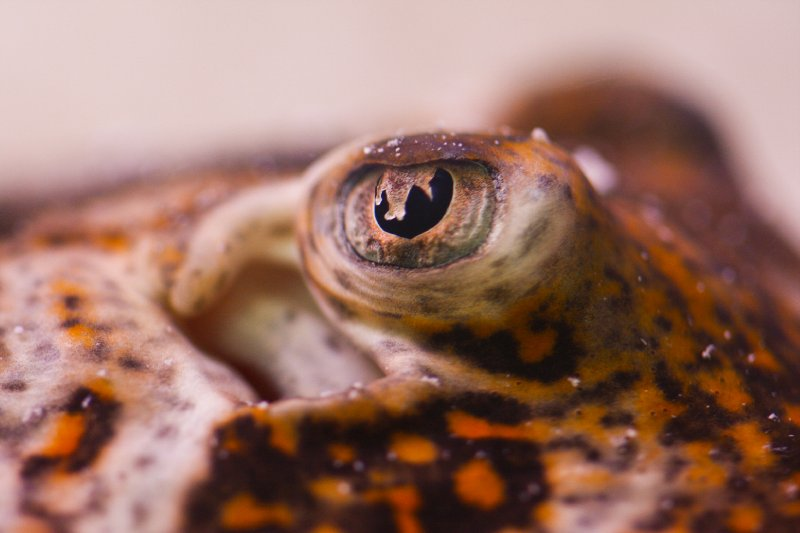Sting ray eye