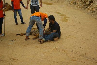 Fotky s tygrem za 1000 THB