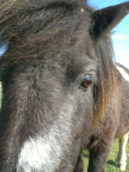 Wild Shetland Pony