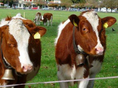 Swiss_cows..lls_on_.jpg