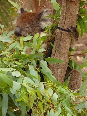17_Koala.jpg