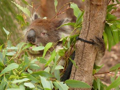 18_Koala.jpg