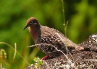 Galapagos_Taube.jpg