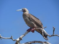 Red_footed_Booby.jpg