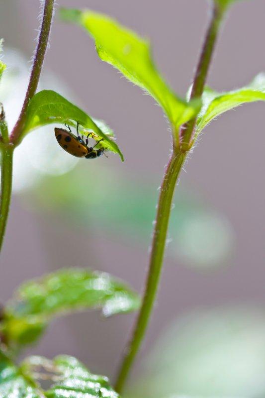 Upside down ladybug