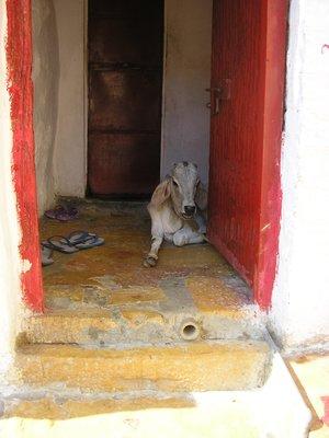 Calf in doorway