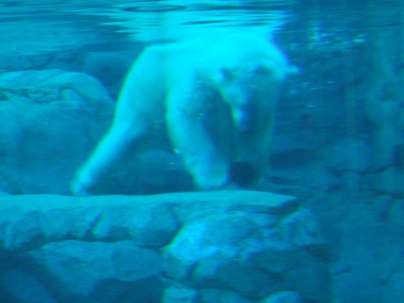 Polar Bear playing with ball - Seaworld