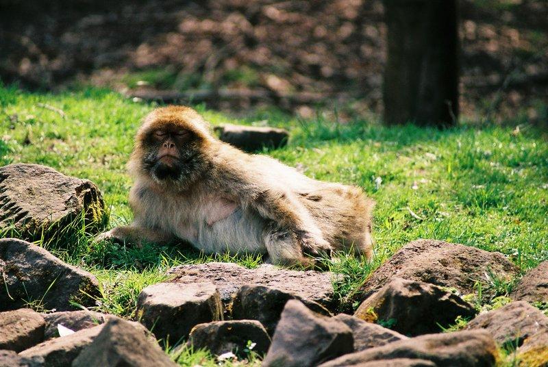 Macaque the posuer