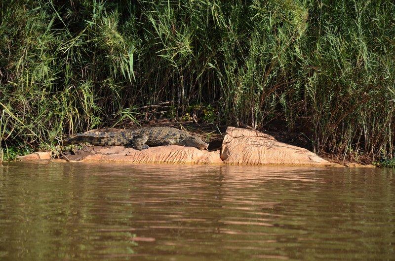 Crocodile, Tsiribihina
