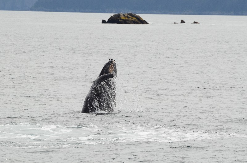 Young humpback whale
