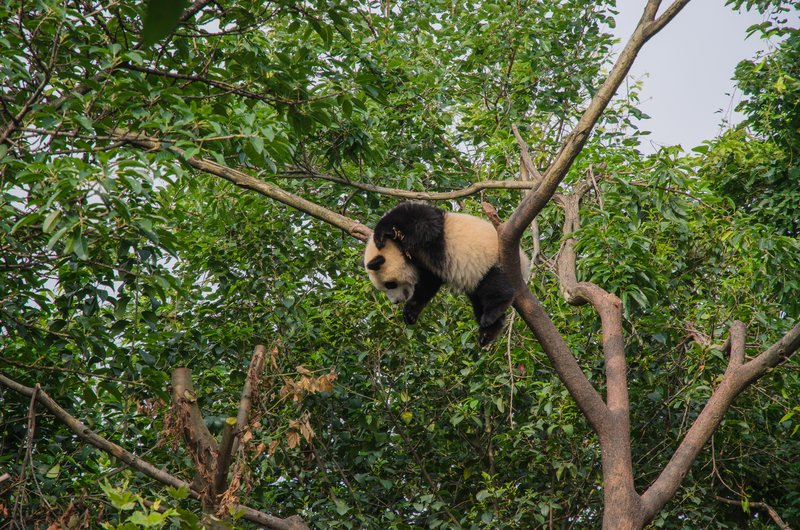 Giant Panda, Chengdu Research Base of Giant Panda Breeding