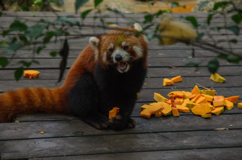 Red Panda, Chengdu Research Base of Giant Panda Breeding