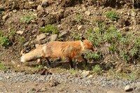 Red fox, Denali NP