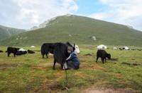 Yak milking near Huagai mountain