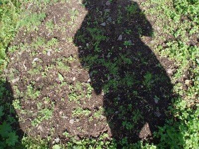 Dill in a Dacha garden