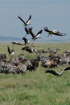 More Zebras