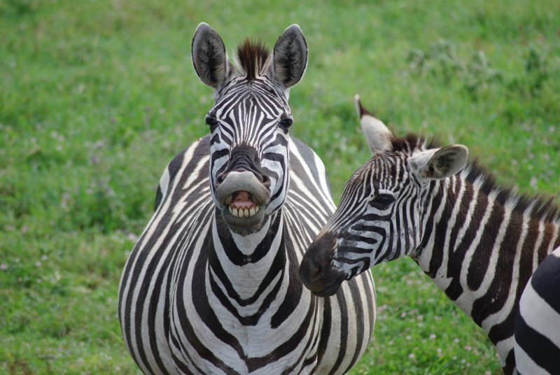 Zebra Hamming it up for the Camera