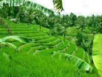 Ubud ricepaddies