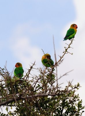 Love Birds-North Serengeti