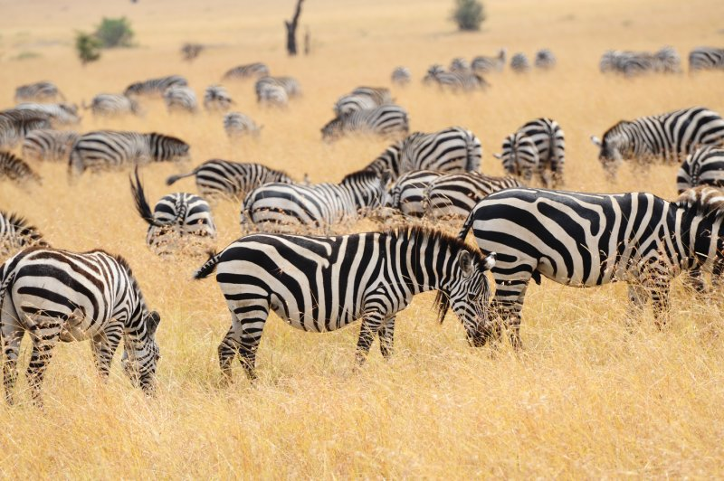Field of Zebra-North Serengeti