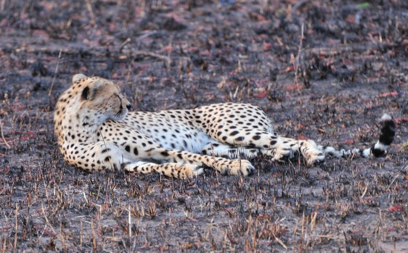 First Cheetah