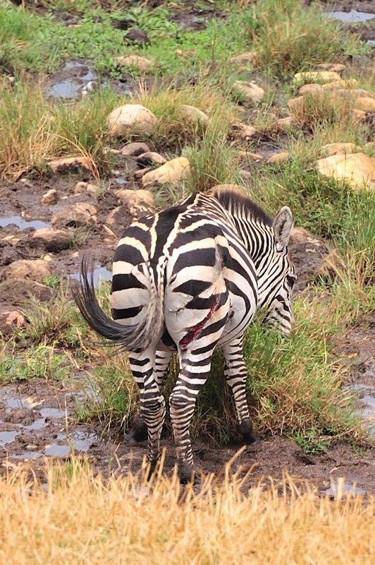 Injured Zebra
