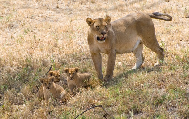 Lion and Cubs-North Serengeti