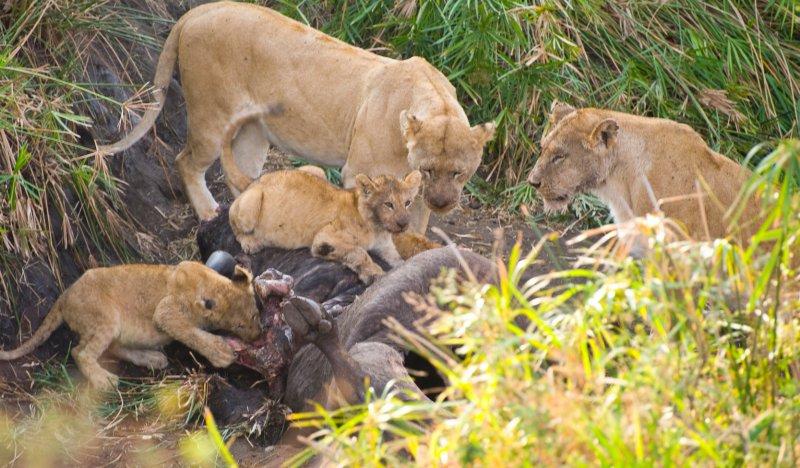 Lions Eating Buffalo